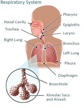 Respiratory System Illustration