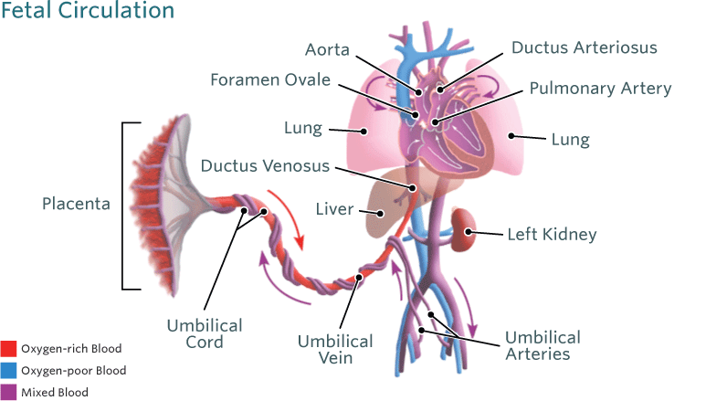 Blood Circulation In The Fetus And Newborn Childrens Hospital Of