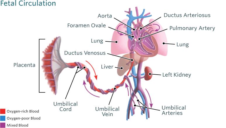 Fetal Heart Circulation Diagram - Auto Electrical Wiring Diagram •