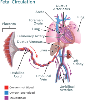 Blood Circulation in the Fetus and Newborn | Children's