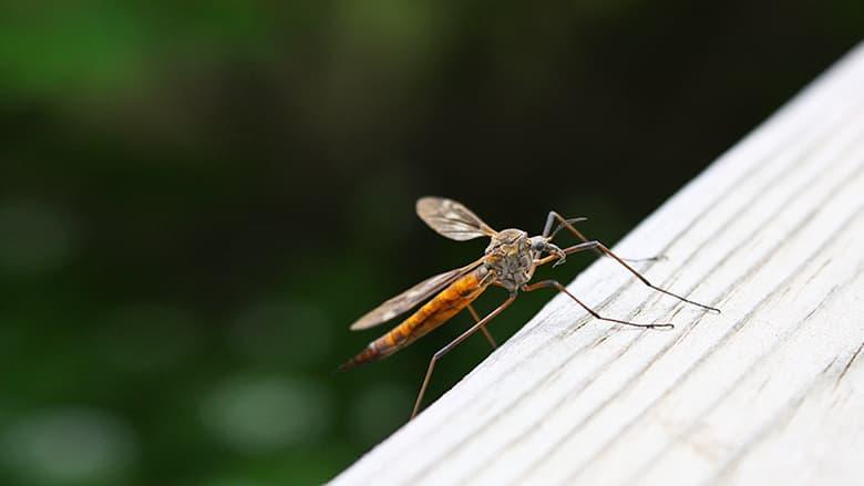 A close shot of a mosquito