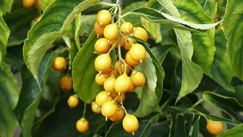Part Ii More Fruit Of Poisonous Tree >> Poisonous Berries Children S Hospital Of Philadelphia