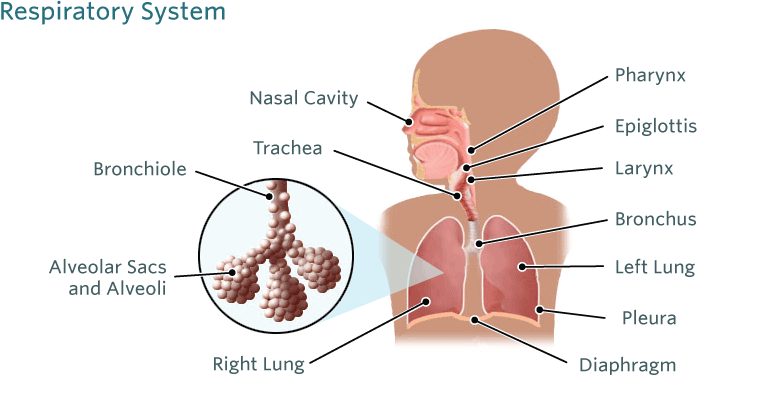 Bronchiolitis Illustration