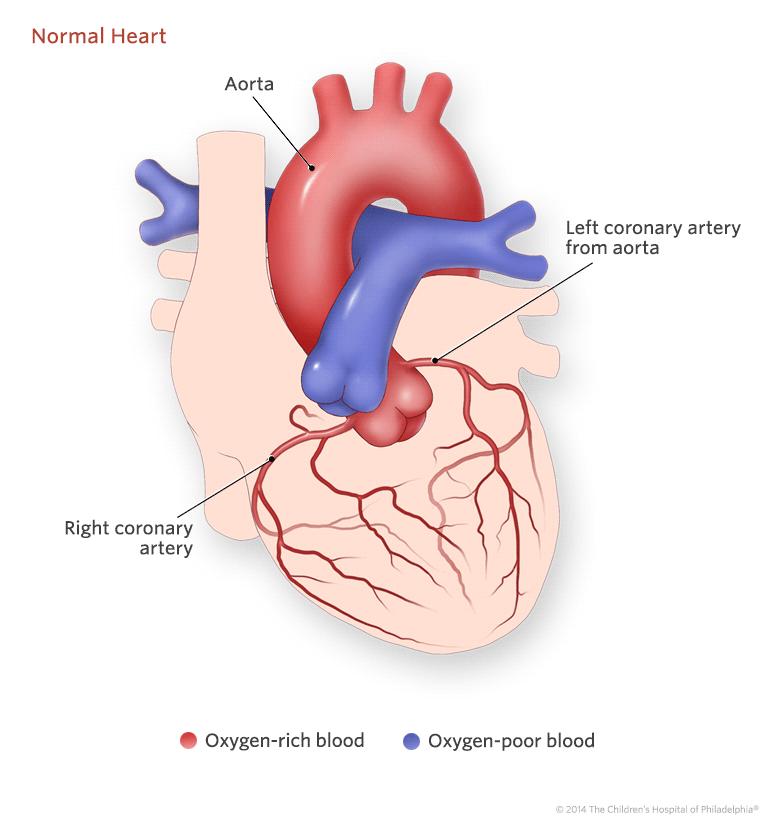 Exterior Of Normal Heart Illustration