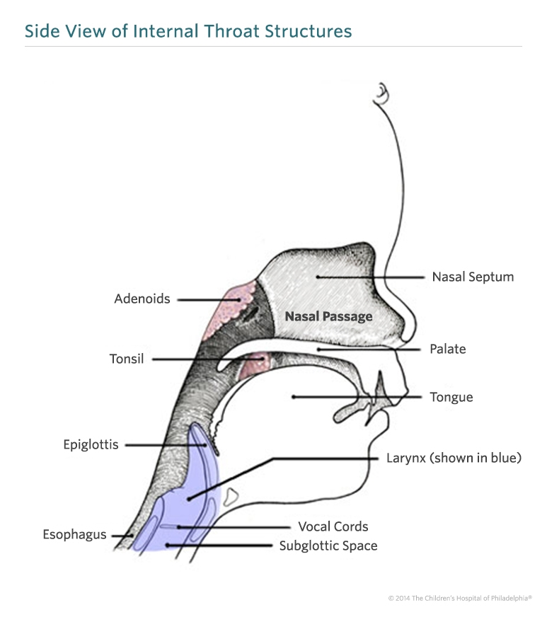 Sides Of Throat Diagram Product Wiring Diagrams
