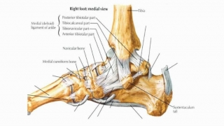 Chart of the ligaments of the foot