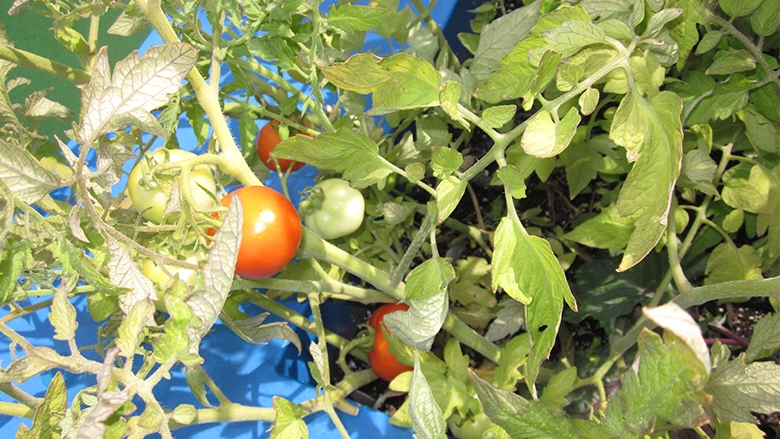 It's July – that means tomatoes are ripening on the vine on the rooftop at Children's Seashore house!