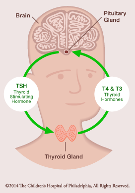 Thyroid Axis Normal Function