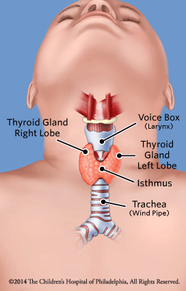 Normal Thyroid Illustration